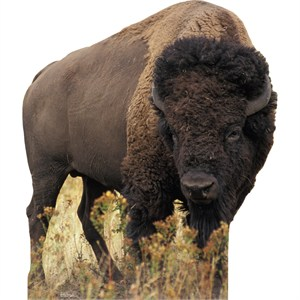 Bison-Lifesized Standup